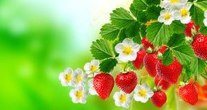 Κόκκινες νόστιμες φράουλες στοκ φωτογραφία με δικαίωμα ελεύθερης χρήσης