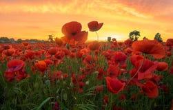 Κόκκινες παπαρούνες λαμβάνοντας υπόψη τον ήλιο ρύθμισης Στοκ Φωτογραφία