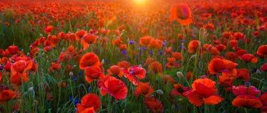 Κόκκινες παπαρούνες λαμβάνοντας υπόψη τον ήλιο ρύθμισης, pano υψηλής ανάλυσης Στοκ Εικόνες