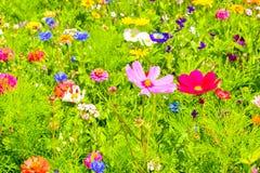 Κόκκινες παπαρούνες, μπλε cornflowers και ζωηρόχρωμα θερινά άγρια λουλούδια στην Ευρώπη Στοκ Φωτογραφία
