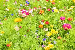 Κόκκινες παπαρούνες, μπλε cornflowers και ζωηρόχρωμα θερινά άγρια λουλούδια στην Ευρώπη Στοκ Εικόνες