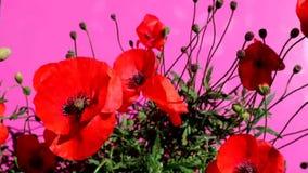 Κόκκινες παπαρούνες σε ένα πορφυρό λουλούδι παπαρουνών υποβάθρου απόθεμα βίντεο