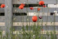 Κόκκινες παπαρούνες στον γκρίζο ξύλινο φράκτη Στοκ φωτογραφία με δικαίωμα ελεύθερης χρήσης