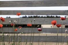 Κόκκινες παπαρούνες στον γκρίζο ξύλινο φράκτη Στοκ εικόνα με δικαίωμα ελεύθερης χρήσης