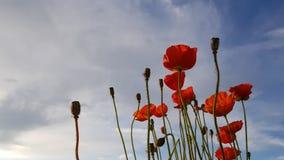 Κόκκινες παπαρούνες στο υπόβαθρο ουρανού στοκ εικόνες με δικαίωμα ελεύθερης χρήσης