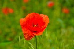 Κόκκινες παπαρούνες στο floral ντεκόρ φύσης στο πράσινο υπόβαθρο Στοκ Φωτογραφίες