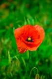 Κόκκινες παπαρούνες στο floral ντεκόρ φύσης στο πράσινο υπόβαθρο Στοκ φωτογραφίες με δικαίωμα ελεύθερης χρήσης