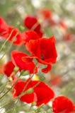 Κόκκινες παπαρούνες Στοκ Φωτογραφία