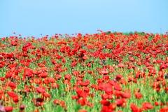 Κόκκινες παπαρούνες wildflower Στοκ φωτογραφία με δικαίωμα ελεύθερης χρήσης