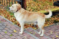 Κόκκινο σκυλί Στοκ εικόνα με δικαίωμα ελεύθερης χρήσης