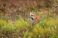Κόκκινες στάσεις Vulpes αλεπούδων vulpes στα ζιζάνια Στοκ Εικόνα