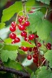 Κόκκινες σταφίδες στον κήπο Στοκ φωτογραφία με δικαίωμα ελεύθερης χρήσης