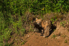 Κόκκινες στροφές Vixen Vulpes αλεπούδων vulpes στο κρησφύγετο Στοκ Εικόνες