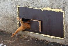 Κόκκινες συμπιέσεις γατών σε μια στενή τρύπα γατών στο παράθυρο υπογείων στοκ εικόνες με δικαίωμα ελεύθερης χρήσης