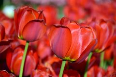 κόκκινες τουλίπες κήπων Μακροεντολή Στοκ φωτογραφία με δικαίωμα ελεύθερης χρήσης