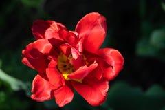 Κόκκινες τουλίπες με το όμορφο υπόβαθρο ανθοδεσμών Στοκ Φωτογραφία
