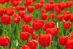 κόκκινες τουλίπες πεδίων στοκ εικόνες