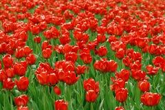 κόκκινες τουλίπες πεδί&omeg στοκ εικόνα