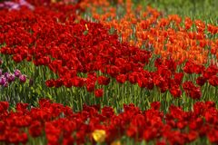 Κόκκινες τουλίπες των διαφορετικών σκιών Στοκ φωτογραφία με δικαίωμα ελεύθερης χρήσης