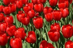 κόκκινες τουλίπες Στοκ εικόνες με δικαίωμα ελεύθερης χρήσης