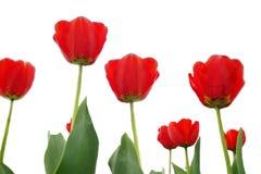 κόκκινες τουλίπες στοκ φωτογραφίες με δικαίωμα ελεύθερης χρήσης