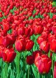 κόκκινες τουλίπες Στοκ Φωτογραφία