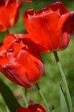 κόκκινες τουλίπες ήλιων Στοκ Εικόνα
