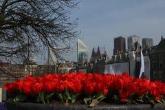 Κόκκινες τουλίπες Κάτω Χώρες Στοκ Φωτογραφίες