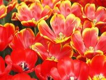 κόκκινες τουλίπες κίτρινες Στοκ Εικόνες