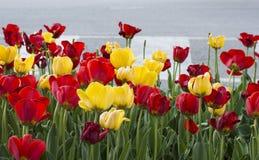 κόκκινες τουλίπες κίτρινες Στοκ Φωτογραφίες