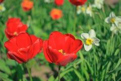 Κόκκινες τουλίπες και άσπρα daffodils μεταξύ των πράσινων φύλλων μια ηλιόλουστη ημέρα Στοκ Εικόνες