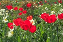 Κόκκινες τουλίπες και άσπρα daffodils μεταξύ των πράσινων φύλλων στον κήπο Στοκ φωτογραφία με δικαίωμα ελεύθερης χρήσης