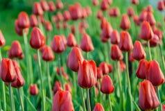 Κόκκινες τουλίπες Κρεβάτι λουλουδιών άνοιξη στο πάρκο Στοκ Φωτογραφίες
