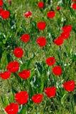 κόκκινες τουλίπες πεδί&omeg Στοκ εικόνα με δικαίωμα ελεύθερης χρήσης