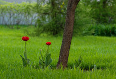 Κόκκινες τουλίπες που αυξάνονται στον κήπο Στοκ εικόνα με δικαίωμα ελεύθερης χρήσης