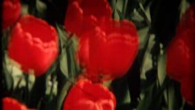 Κόκκινες τουλίπες στην άνοιξη απόθεμα βίντεο