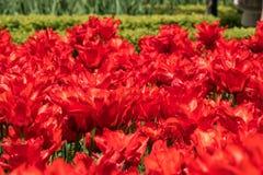Κόκκινες τουλίπες στον κήπο στοκ εικόνες