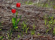Κόκκινες τουλίπες στο wildness Στοκ Φωτογραφία