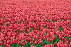 Κόκκινες τουλίπες Στοκ Φωτογραφίες