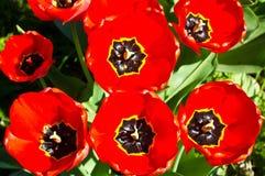 Κόκκινες τουλίπες Στοκ Εικόνες
