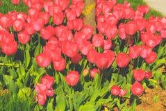 Κόκκινες τουλίπες Στοκ εικόνα με δικαίωμα ελεύθερης χρήσης