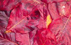 Κόκκινες υπόβαθρο και σύσταση φύλλων Στοκ εικόνες με δικαίωμα ελεύθερης χρήσης