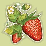 Κόκκινες φράουλες. Διανυσματική απεικόνιση Στοκ Εικόνα
