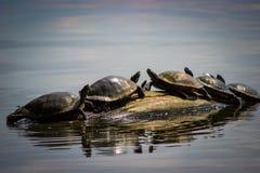 Κόκκινες χελώνες ολισθαινόντων ρυθμιστών αυτιών Στοκ εικόνα με δικαίωμα ελεύθερης χρήσης