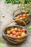 Κόκκινες, ώριμες ντομάτες σε δύο ψάθινα καλάθια Στοκ Φωτογραφία