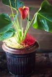 Κόκκινες anthurium εγχώριες εγκαταστάσεις σε ένα δοχείο πέρα από το ξύλινο υπόβαθρο Στοκ φωτογραφίες με δικαίωμα ελεύθερης χρήσης