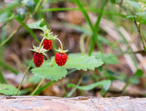 Κόκκινη άγρια φράουλα στο θάμνο Στοκ φωτογραφία με δικαίωμα ελεύθερης χρήσης