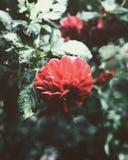 Κόκκινη άνθιση νταλιών στοκ φωτογραφία με δικαίωμα ελεύθερης χρήσης