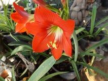 Κόκκινη άνθιση amaryllis Στοκ φωτογραφίες με δικαίωμα ελεύθερης χρήσης