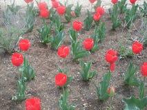 κόκκινη άνοιξη λουλουδ&io Στοκ εικόνα με δικαίωμα ελεύθερης χρήσης